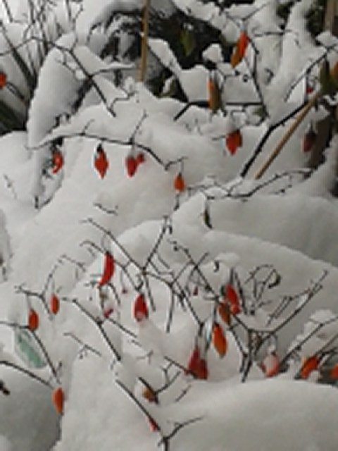enveloped by snow