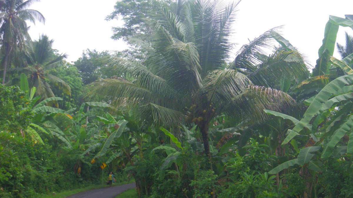 coconut and banana trees