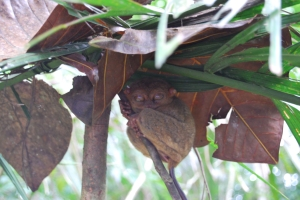 tiny tarsier