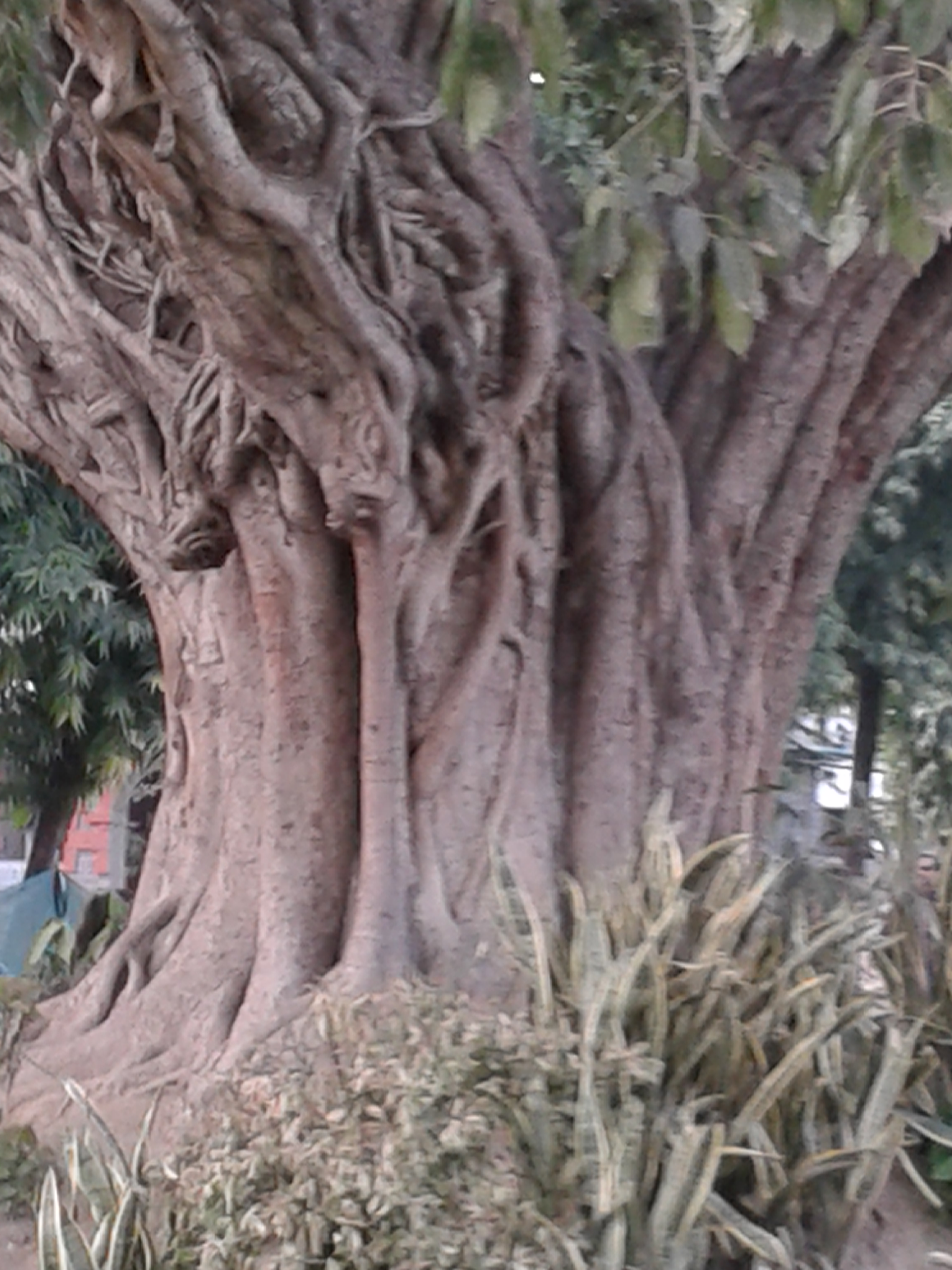 300 year old banyan tree