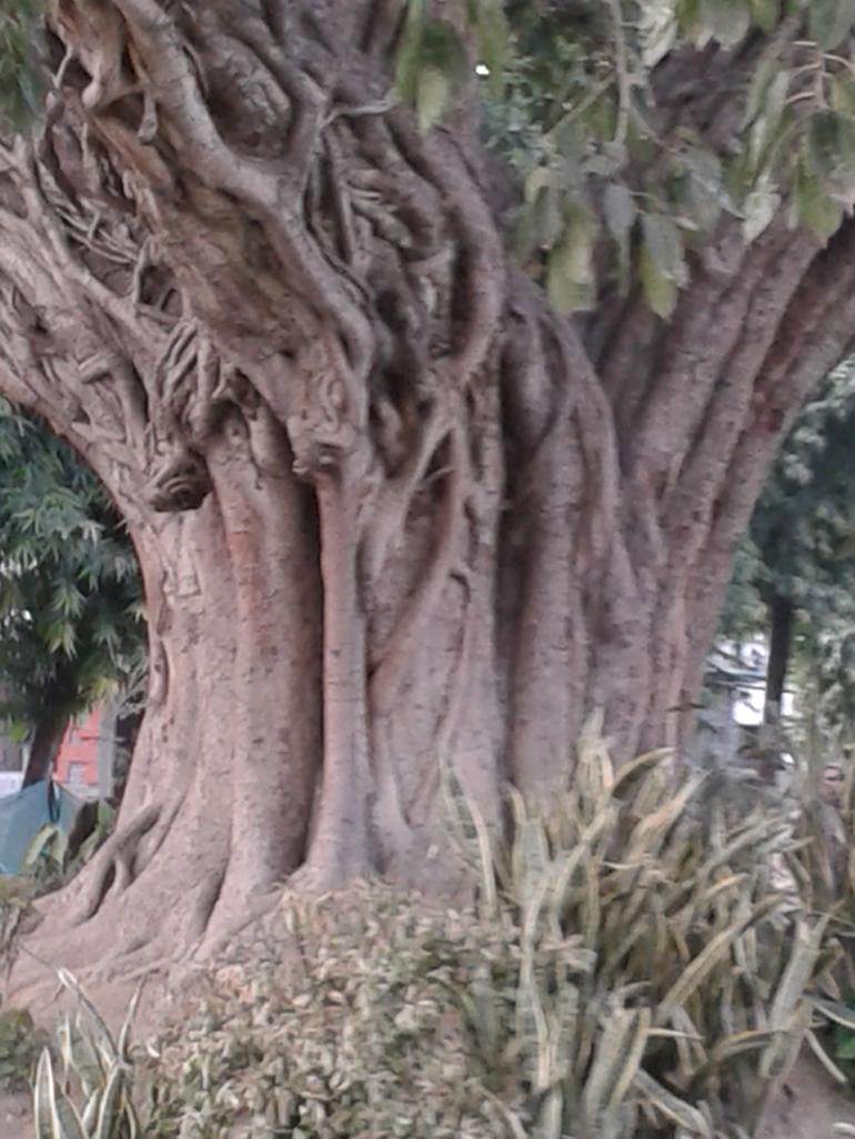 300 year old banyan tree