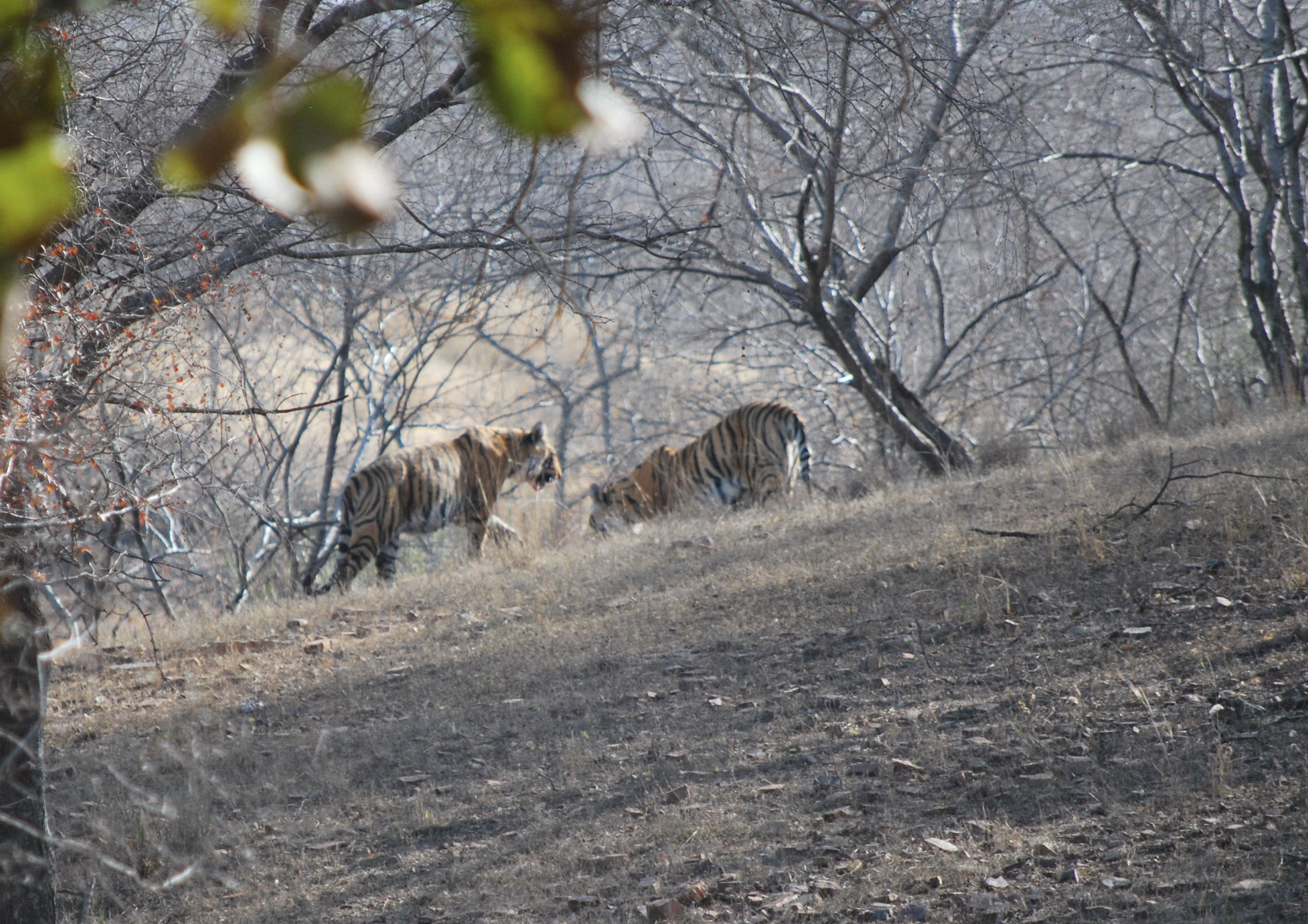 tigers in Ranthambhore