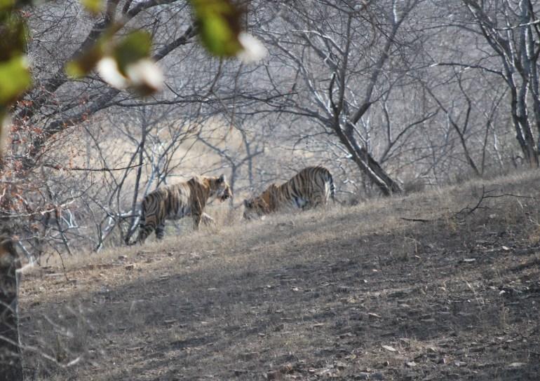 tigers in Ranthambhore