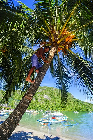 Man climbing on a coconut tree, El Nido, Bacuit Archipelago, Palawan, Philippines, Southeast Asia, Asia
