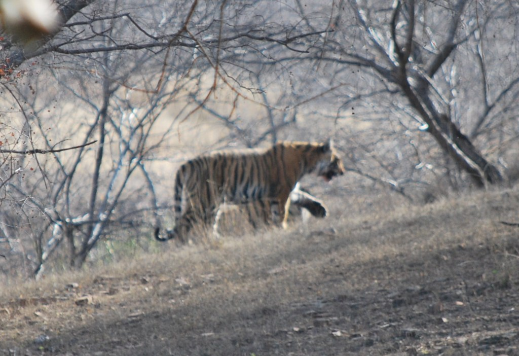 seeing tigers in the wild