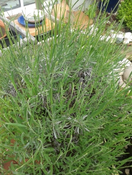 and the lavenders - they're going to be great!