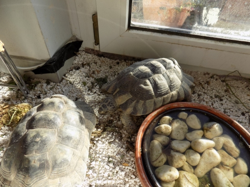 tortoises playing