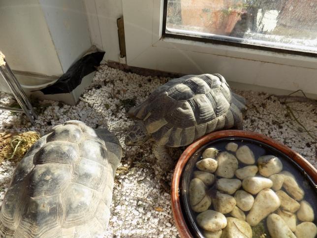 tortoises playing