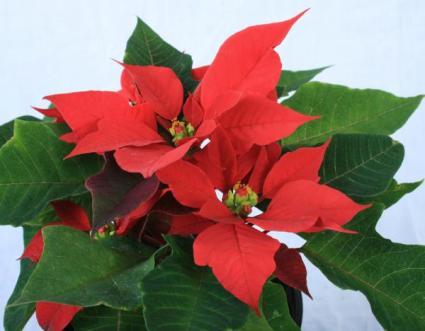 Gift 2 - Red Poinsettia.website