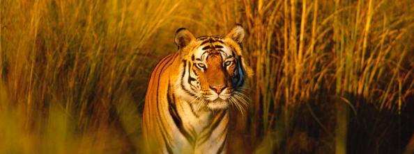 Bengal tiger portrait (Panthera tigris tigris) Bandhavgarh NP, Madhya Pradesh, India
