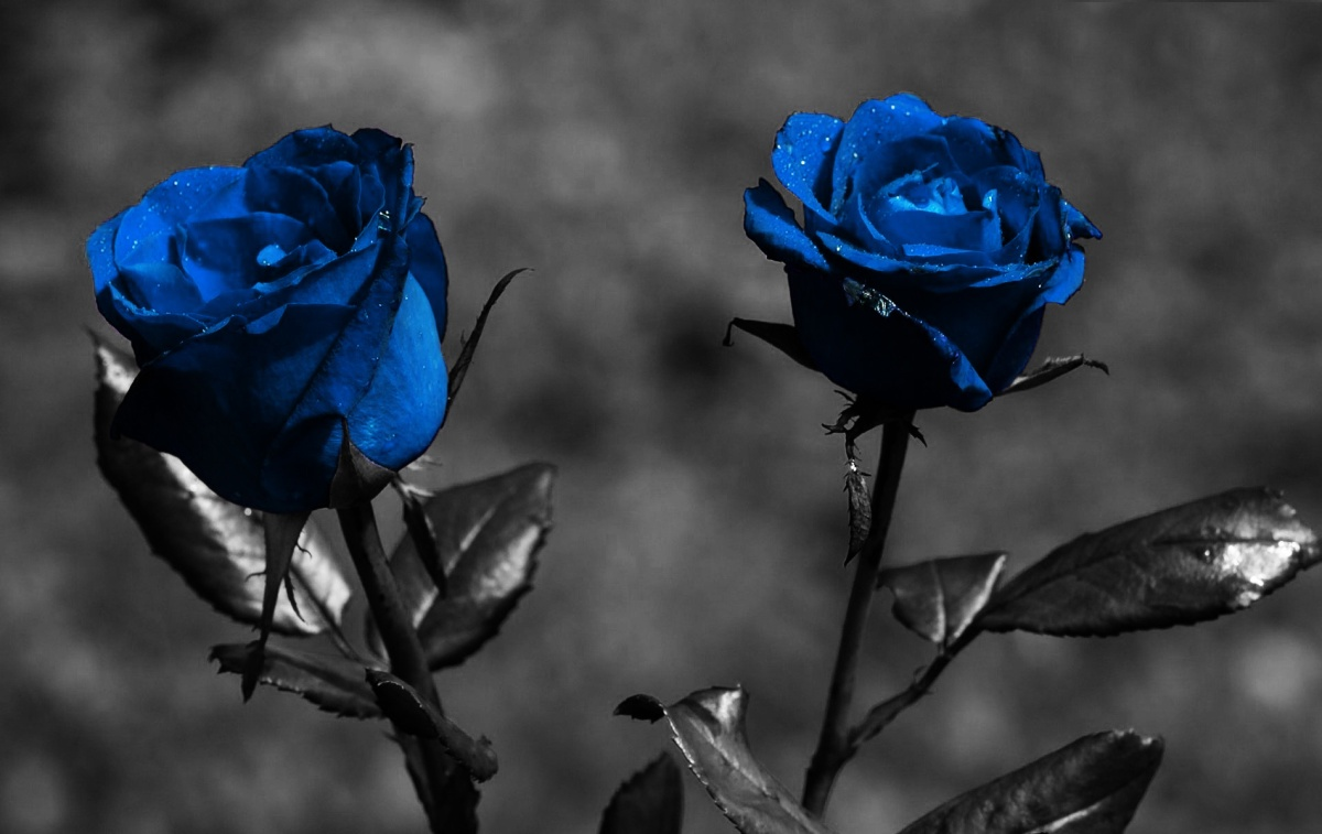 blue-roses-widescreen-other