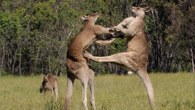 Episode 4 - Power. PICTURE SHOWS: Two large male grey kangaroos (Macropus giganteus) fight in a meadow in Australia. Using their tails as props, they use their muscular back legs and sharp claws as formidable weapons against their opponents.