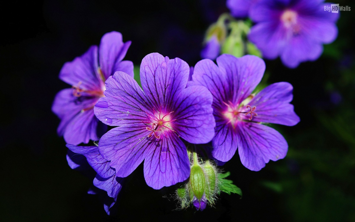 violet-flowers-hd-wall1200