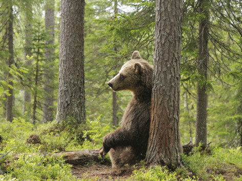 dave-watts-european-brown-bear-ursus-arctos-resting-and-scratching-its-back-against-a-tree-finland